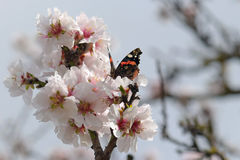 Butterfly on almond tree flower Stock Photos