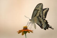 Free Butterfly And Flower Royalty Free Stock Images - 215519