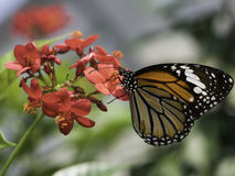 Free Butterfly And Flower Royalty Free Stock Photos - 47580648