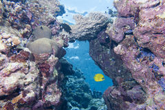 Butterfly angel fish yellow and blue in the reef background stock photo