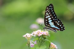 Butterfly nectar flower royalty free stock photography