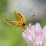 Butterfly Antennae Stock Photos