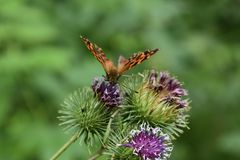 Butterfly with antennae studying purple flower burdock. Insects revived with the arrival of summer royalty free stock photo