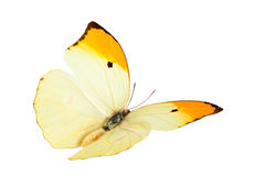 Butterfly (Anteos Menippe). Royalty Free Stock Photo