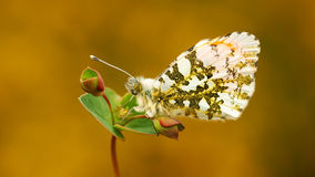 Butterfly, Anthocharas cardamines. Orange tip, (Anthocharas cardamines) a beautiful butterfly that lives in Europe Royalty Free Stock Photography