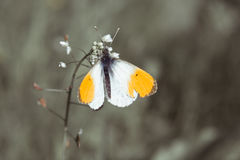 Butterfly Anthocharis Stock Image
