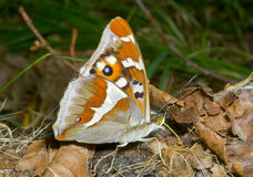 Butterfly (Apatura iris amurensis) 10 Stock Photo