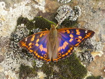 Butterfly. Apatura metis . Stock Image