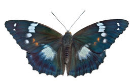 Butterfly (Apatura schrencki) 32 Stock Photo