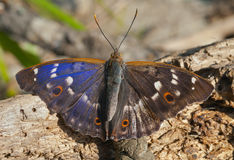 Butterfly (Apatura substituta) 8 Stock Images