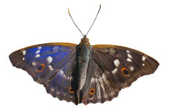 Butterfly (Apatura substituta) 11 Stock Photo