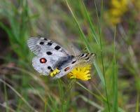 Butterfly Apollo stock photo
