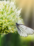 Butterfly Aporia crataegi on flower of onions Royalty Free Stock Photo