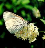 Butterfly (Aporia crateagi) Royalty Free Stock Photography