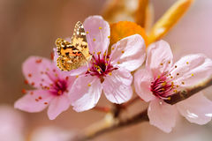 Butterfly on apple blossom flower Stock Images