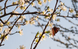 Butterfly on apple tree. Beautiful butterfly on an apple tree Royalty Free Stock Photos