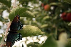 Butterfly in apple tree Stock Images