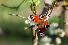 Butterfly on apple tree. Butterfly on a cherry tree in my garden Royalty Free Stock Images