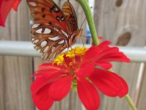 Butterfly1 arancio fotografia stock