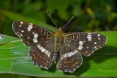 Butterfly (Araschnia burejana) 10 Stock Image