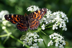Butterfly Araschnia levana. Beautiful butterfly with motley orange black wings Stock Image