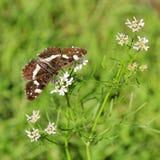 Butterfly (Araschnia levana f. prorsa) Stock Photo
