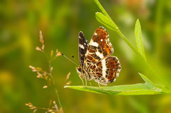 Butterfly Araschnia Levana  sitting on the grass. Close-up of Araschnia Levana butterfly Stock Photography