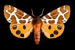 Butterfly, Arctia Caja royalty free stock photo