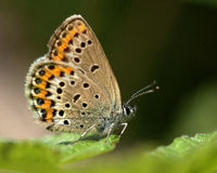 Butterfly Argus 1 Royalty Free Stock Images