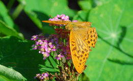 Butterfly argynnis Royalty Free Stock Images