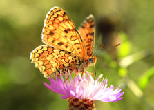 Butterfly (Argynnis adippe) Stock Photos