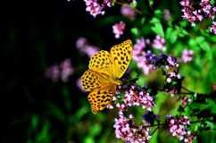 Butterfly. Argynnis laodice - Butterfly Living with family Nymphalidae Royalty Free Stock Images