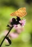 Butterfly (argynnis paphia) stock photo