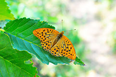 Butterfly Argynnis paphia Stock Image