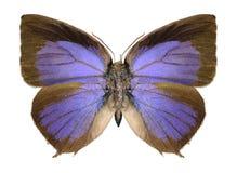 Butterfly Arhopala centaurus Stock Image