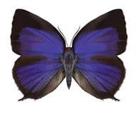 Butterfly Arhopala sp. stock photo