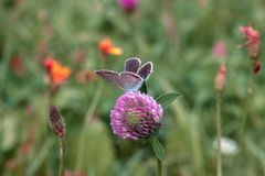Butterfly Aricia agestis brown argus sitting on pink clover in summer field. Butterfly Aricia agestis or brown argus sitting on pink clover flower in summer royalty free stock image