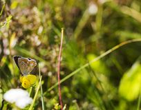 Butterfly Aricia agestis sits on small yellow flower Medicago falcata on summer meadow, side view. Butterfly brown color with orange spots Aricia agestis sits on Stock Image