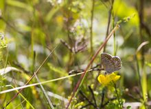 Butterfly Aricia agestis sits on small yellow flower Medicago falcata on summer meadow, side view. Butterfly brown color with orange spots Aricia agestis sits on Royalty Free Stock Photos