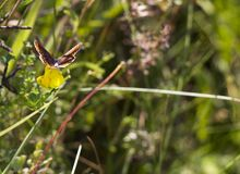 Butterfly Aricia agestis sits on small yellow flower Medicago falcata on summer meadow, top view. Butterfly brown color with orange spots Aricia agestis sits on Royalty Free Stock Photo
