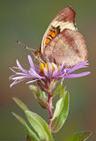 Butterfly on Aster Royalty Free Stock Images