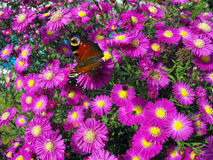 Butterfly on aster plant. Stock Images