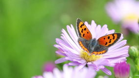 Butterfly. On asteraceae in late summer