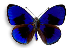 Butterfly Asterope sapphira Royalty Free Stock Image