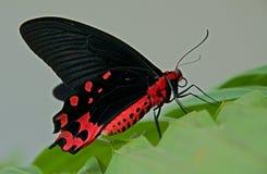 Butterfly Athrophaenura semperi. Stock Photography