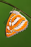 BUTTERFLY/Athyma perius Royalty Free Stock Photography
