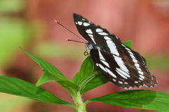 Butterfly Athyma reta moorei or Malay Staff Sergeant Royalty Free Stock Photo