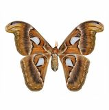 Butterfly : Atlas moths. Attacus atlas Stock Images