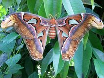 Butterfly attacus atlas Stock Photo