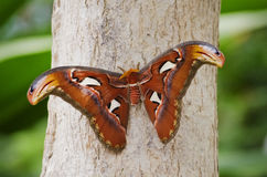 Butterfly Attacus atlas Royalty Free Stock Images